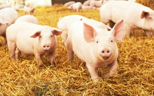 Esto es lo que se sabe del virus porcino