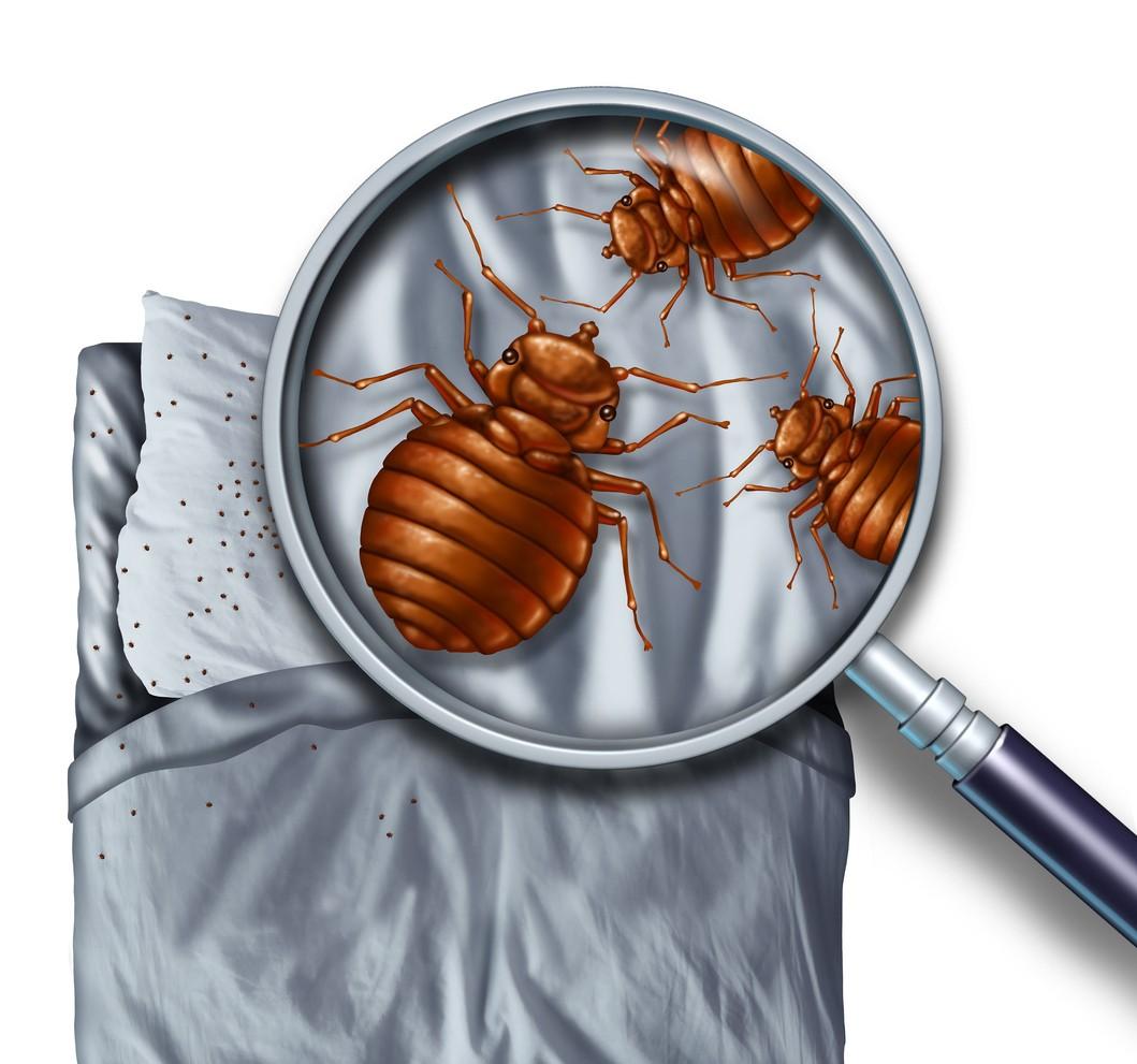 Chinches de la cama: cómo detectarlas, identificarlas y eliminarlas ...