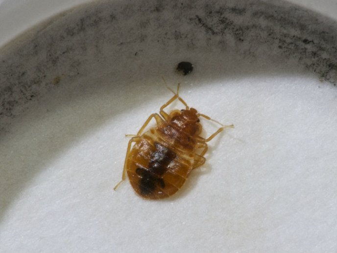 Bedbugs on the bed