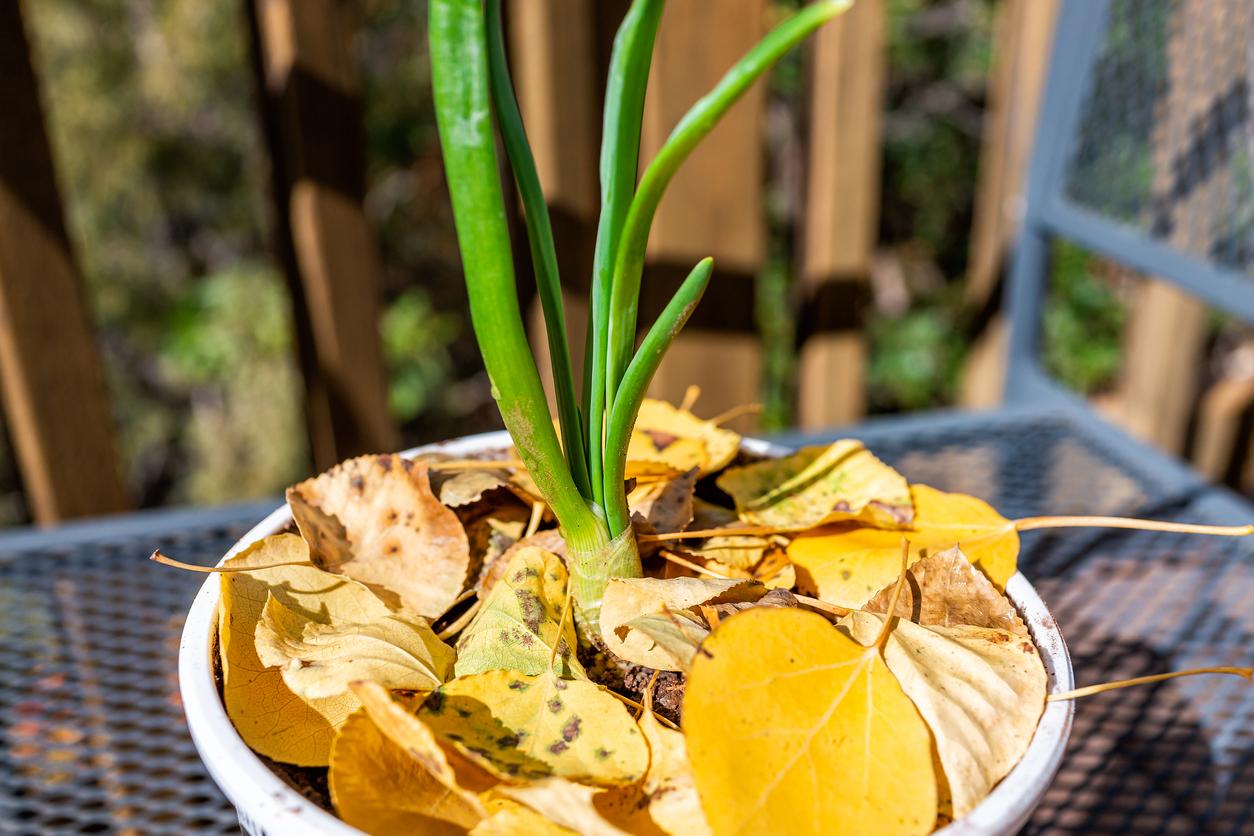 cómo cultivar ajo en maceta