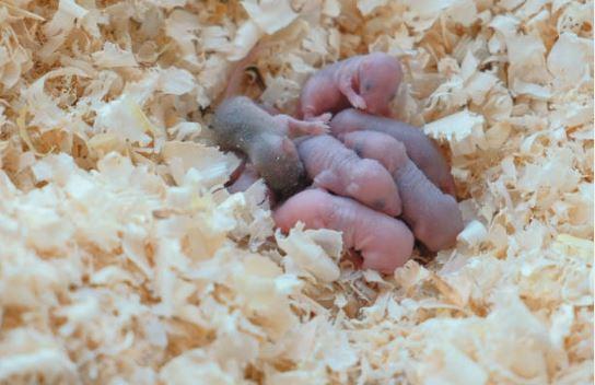 En la primera fecundación, se mezclaron hembras y machos con genes sanos, y las crías presentaron genes aleatorios de acuerdo a las leyes de Mendel.