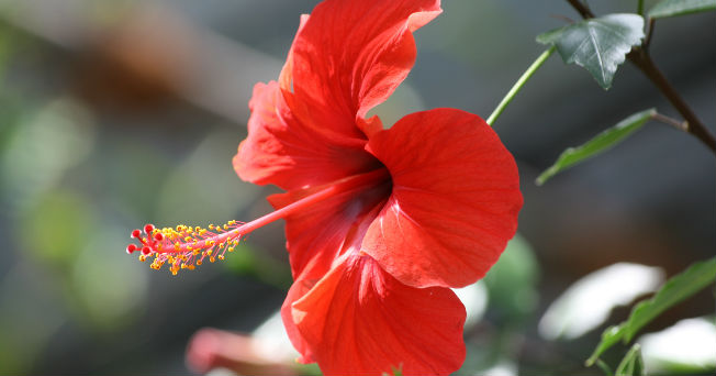 Para jamaica flor peso de perder