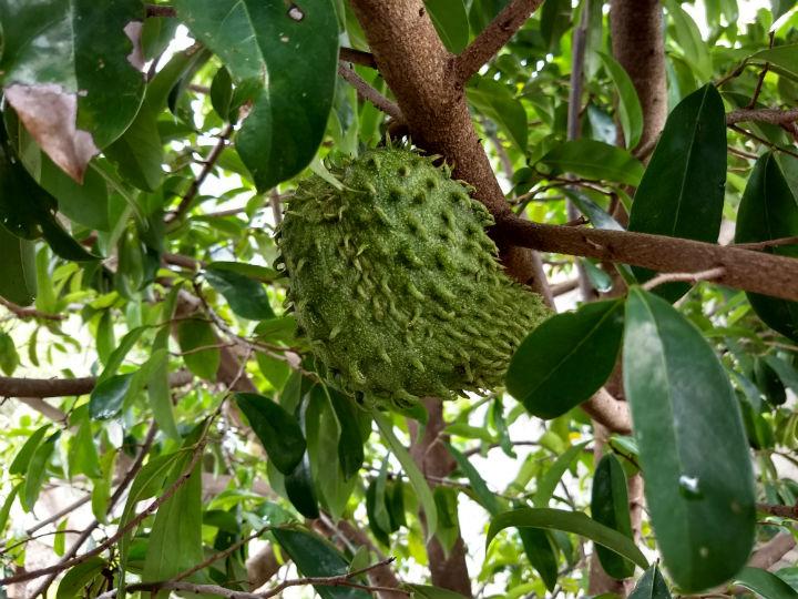 Las hojas de la guanabana sirve para adelgazar
