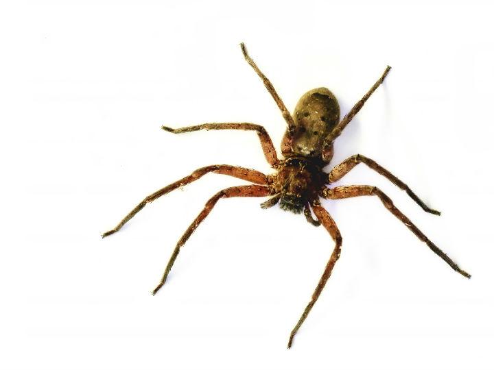 Veneno de araña, ¿mejor que el Viagra?