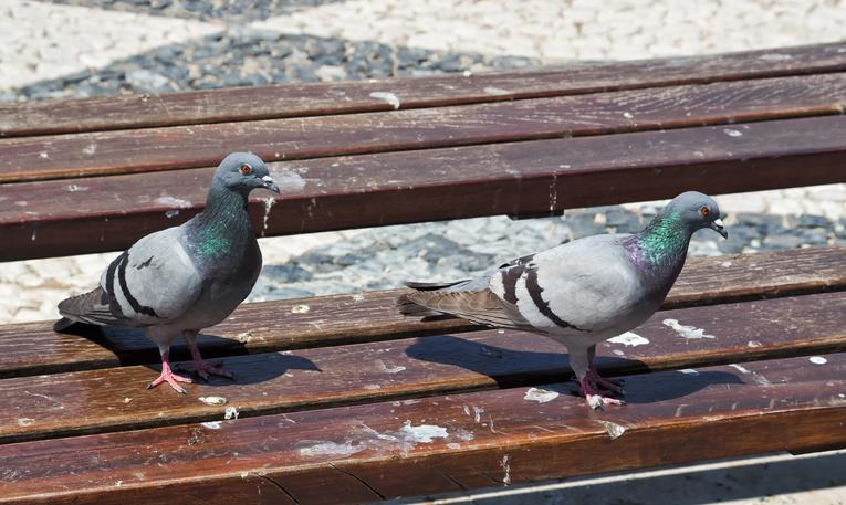 popo de paloma provoca enfermedad en los pulmones
