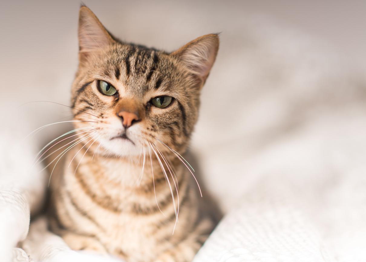 Los bigotes de los gatos son vellos sensoriales