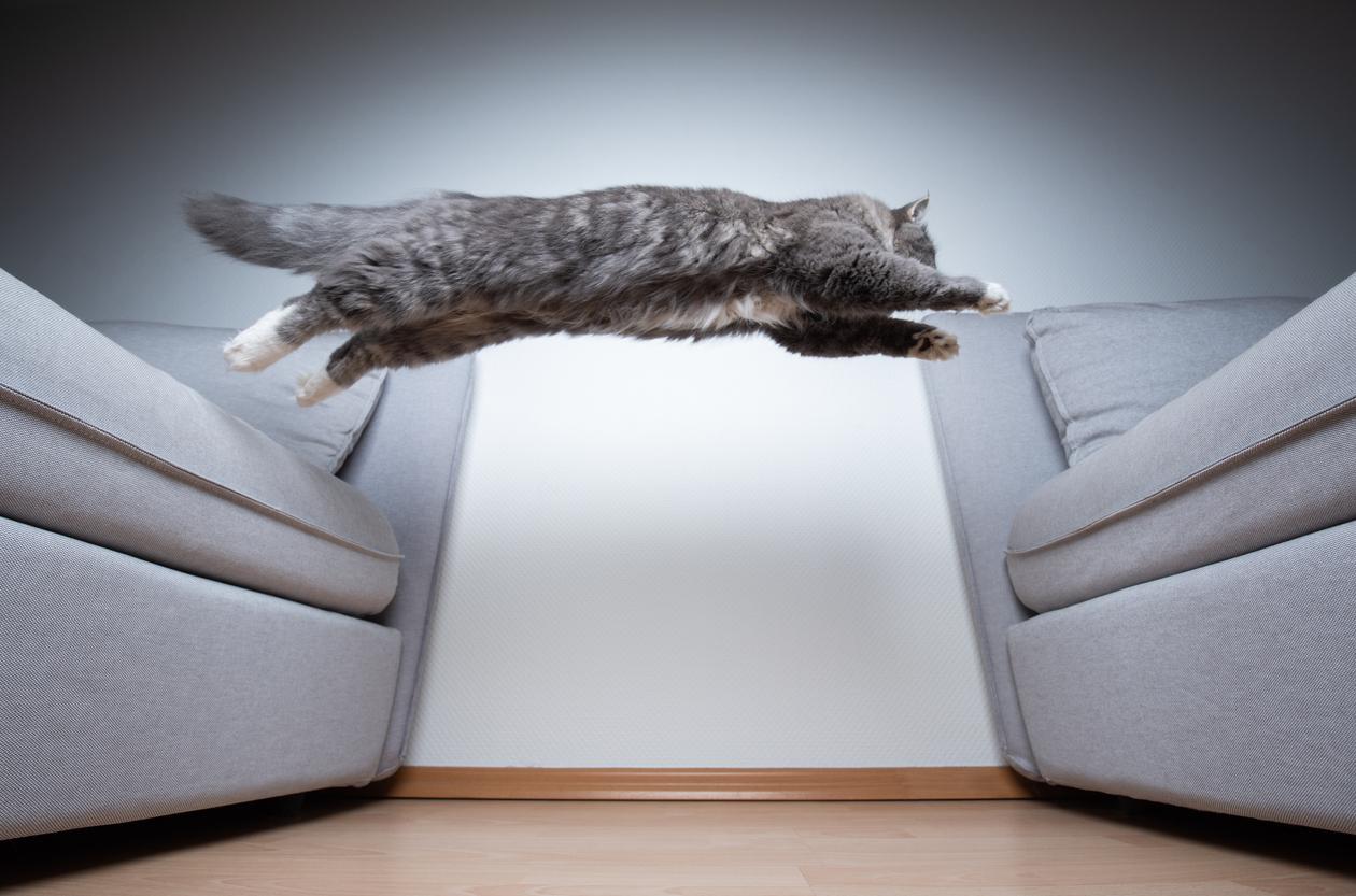 sus vellos sensoriales les ayudan calcular las distancias cuando deben saltar