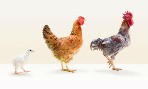 Resultado de imagen para coccidiosis en aves tratamiento