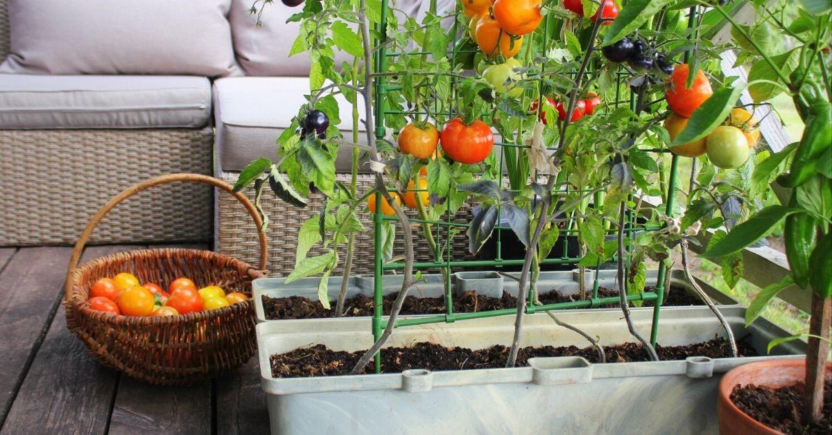 Urban Balcony Vegetable Garden