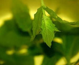 8 ventajas del té verde