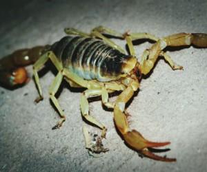 Veneno de escorpión podría revertir el cáncer